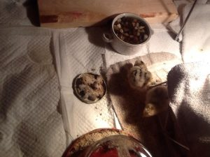 chick hatchlings, permaculture, DIY, psychotherapy, life coaching, learning, lessons, observation